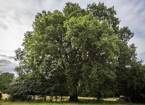 Beech Hill Oak