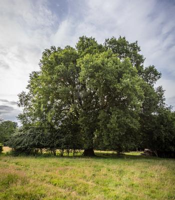 The big old oak